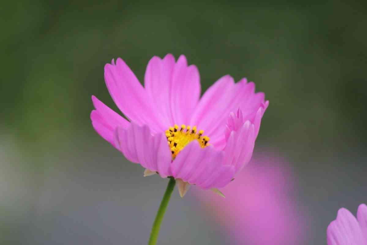 http://pixabay.com/en/cosmos-flower-cosmos-flower-bloom-433424/
