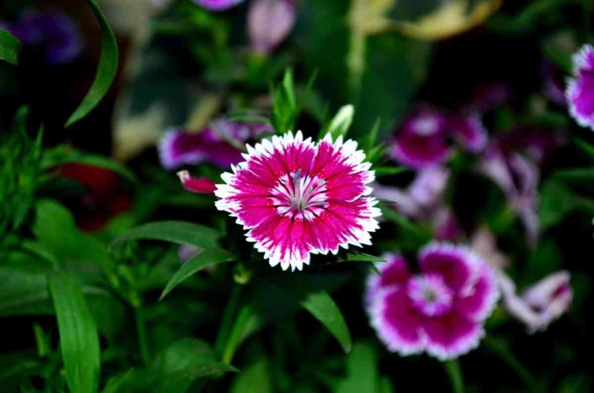 http://pixabay.com/en/dianthus-flower-blossom-pink-390255/