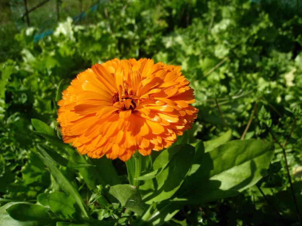 http://pixabay.com/en/marigold-orange-summer-garden-leaf-162923/