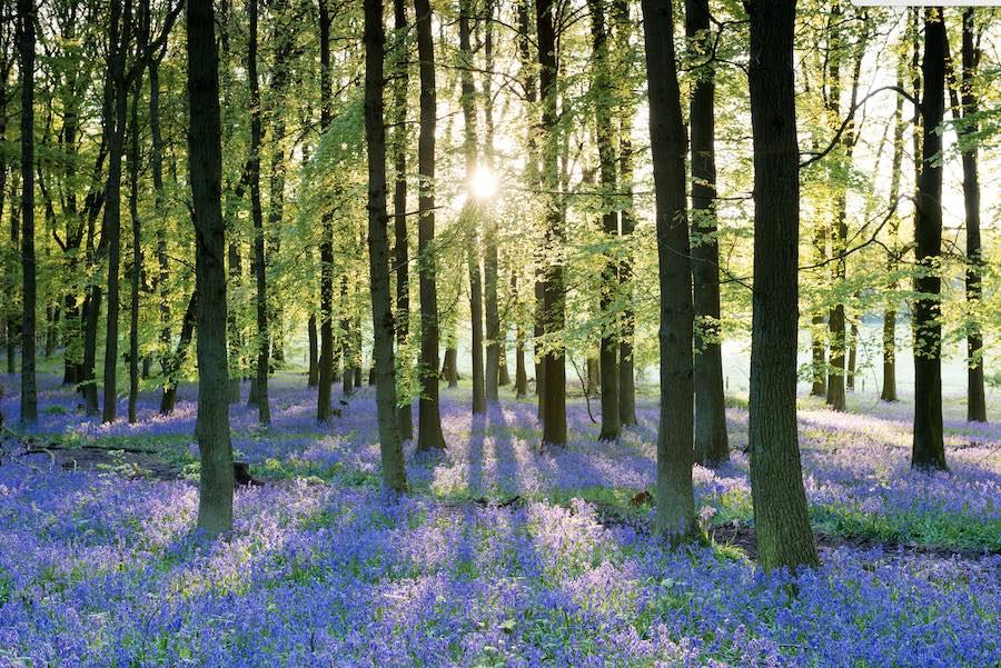 bluebells-forest-of-dean
