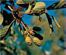 Alder - Lexicon of Forestry LoF - Forestrypedia