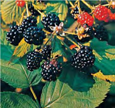 Blackberry - Lexicon of Forestry - LoF - Forestrypedia