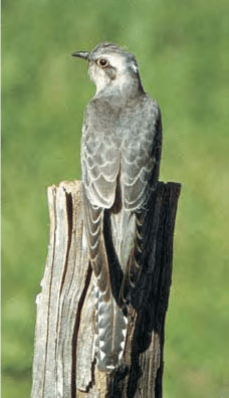 Cuckoo - Lexicon of Forestry - LoF - Forestrypedia