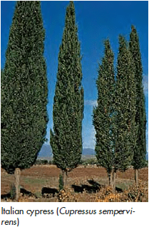 Cypress - Lexicon of Forestry - LoF - Forestrypedia