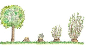 Coppice System - Everything You Need to Know about Silvicultural System - forestrypedia.com