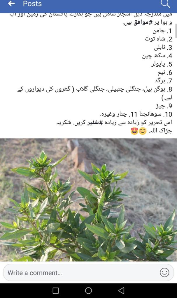Status of Conocarpus Tree in Pakistan especially in Karachi   Alternatives of Concarpus - forestrypedia.com