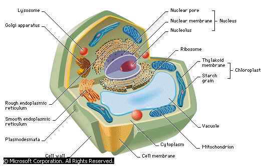Anatomy of a Typical Cell (Powerpoint Presentation) - Forestrypedia