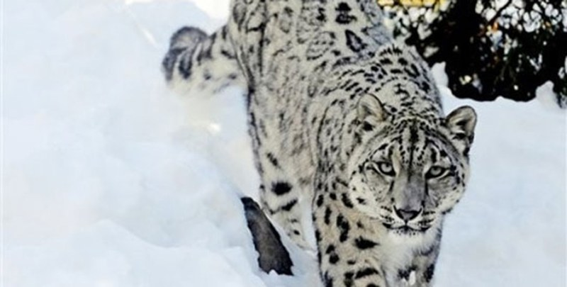 Snow Leopard - Endangered Fauna and Flora of Pakistan - Forestrypedia