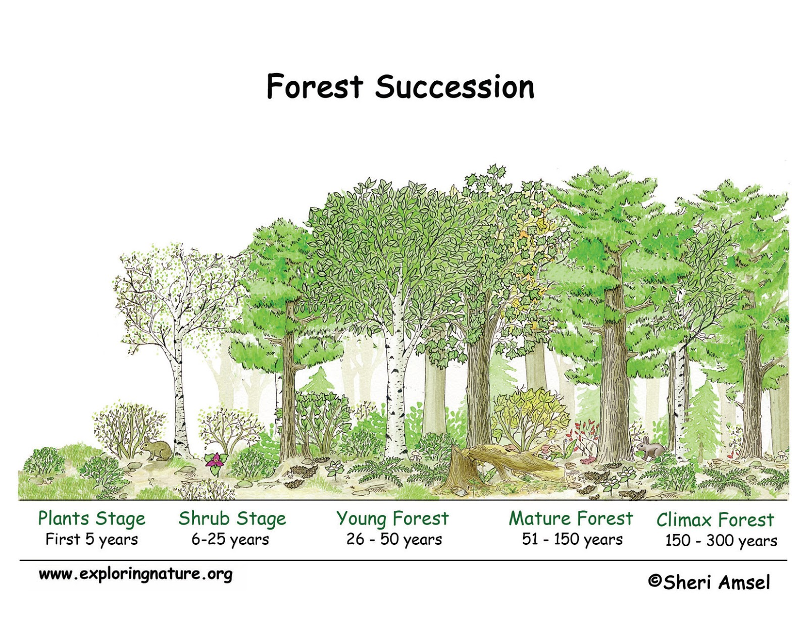Plant Succession Forestrypedia