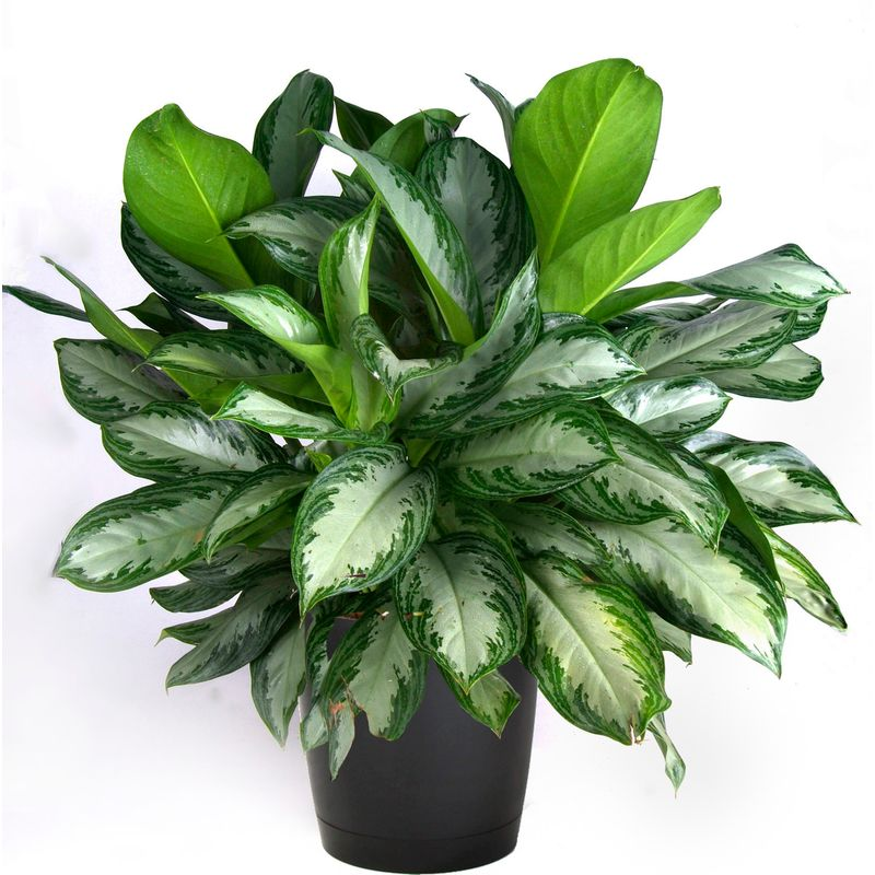 Aglaonema - Chines Evergreen - Forestrypedia