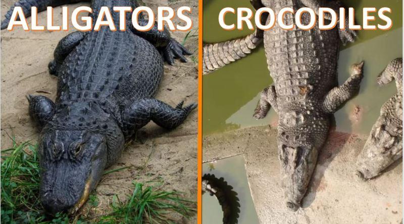 Alligators Vs Crocodiles - Forestrypedia