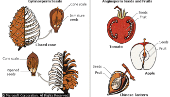 Angiosperms Vs Gymnosperms - Forestrypedia
