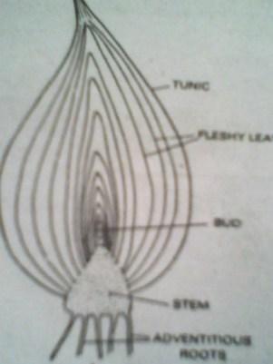 Bulb - Forestrypedia