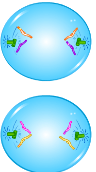 Cell Division - Meiosis - Anaphase II - Forestrypedia