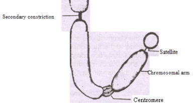 Chromosome - Forestrypedia