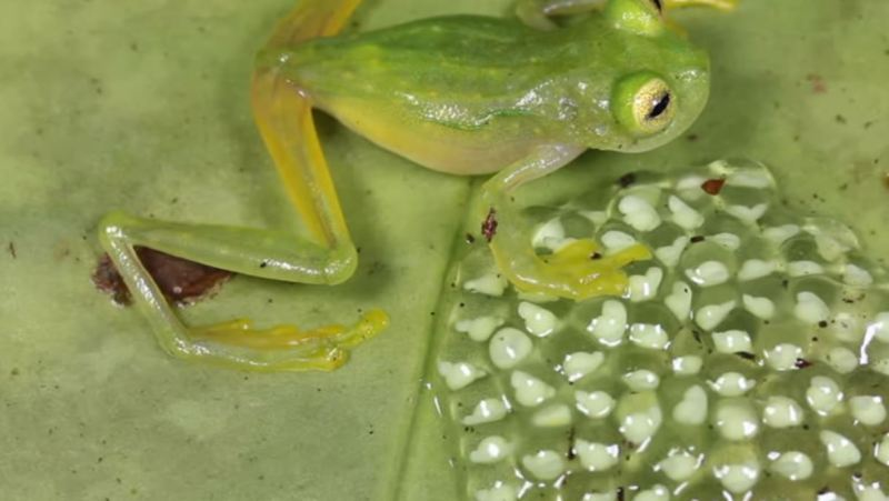 Frogs Eggs - Forestrypedia