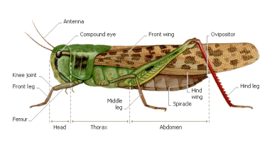 Importance and key characteristics of Acrididae (Grasshopper) - Forestrypedia