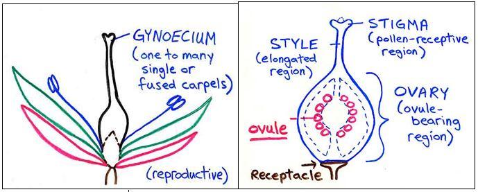 Gynoecium - Forestrypedia