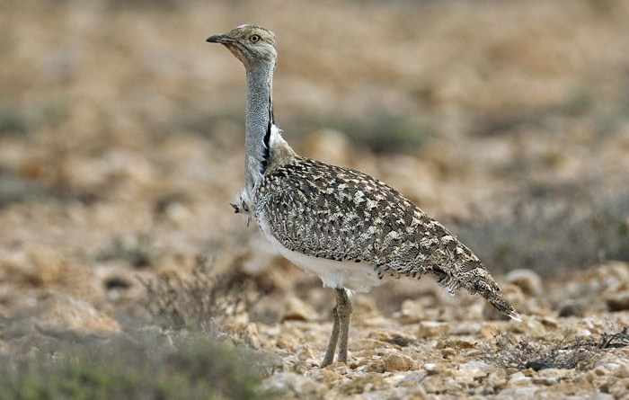 Ecology and Threats to Houbara Bustard in Nag Valley District Washuk Balochistan (Thesis) - Forestrypedia