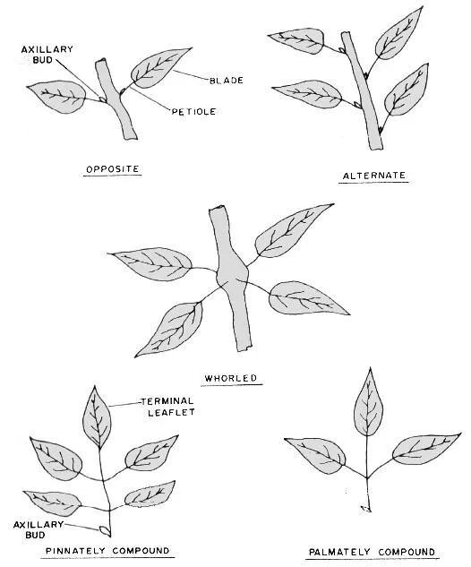 Leaf Arrangements - Forestrypedia