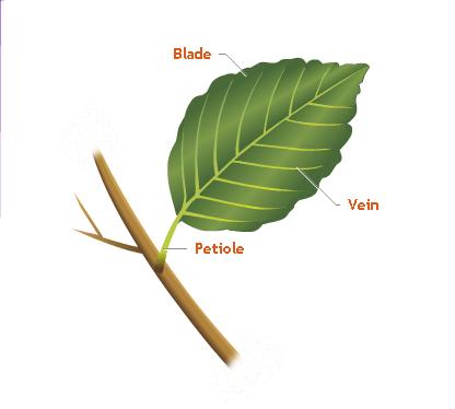 Leaf - Forestrypedia