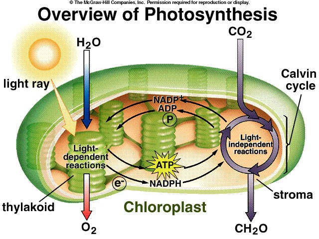 Photosynthesis (Powerpoint Presentation) - Forestrypedia