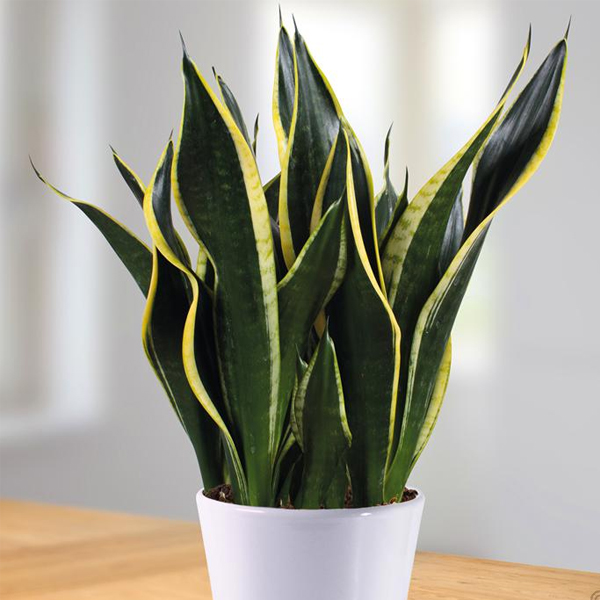 Sansevieria trifasciata - Mother in law Tounge Plant - Forestrypedia
