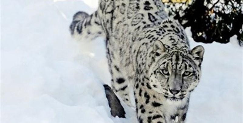 Status of Endangered Wildlife Species of Gilgit Baltistan – Snow Leopard and Brown Bear - Forestrypedia