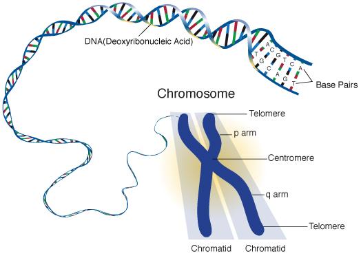 chromosome-forestrypedia