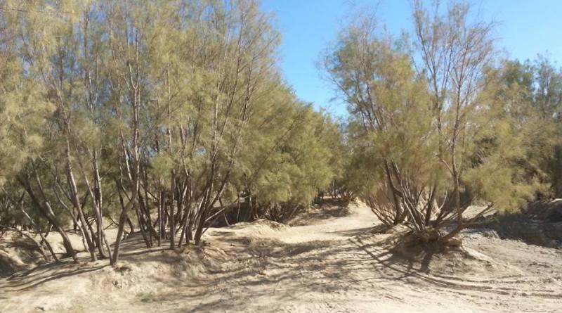 Tamarix Forests at Killa Saifullah Balochistan Tamarix Forests at Killa Saifullah Balochistan