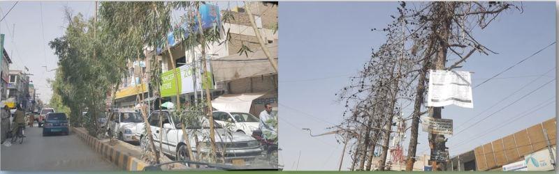 Eucalyptus Vs Quetta Pine - Jinnah Road Quetta