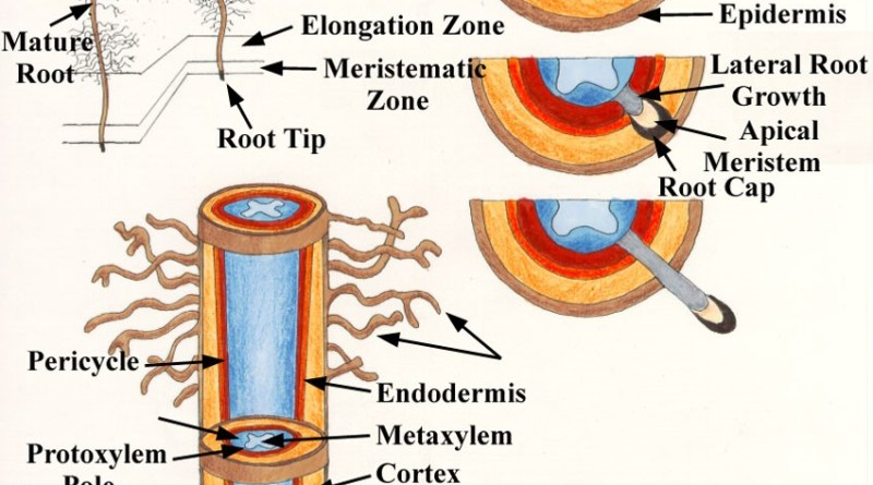Plant Root - Forestrypedia