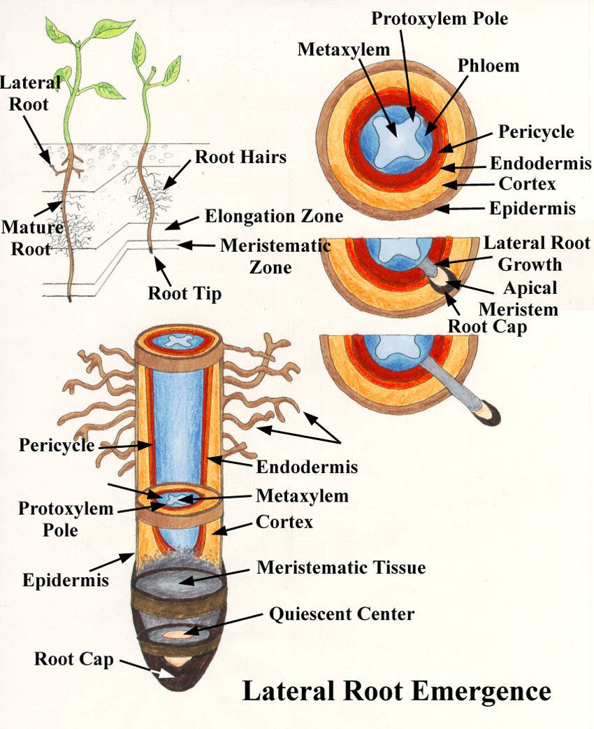 Plant Root, it Composition and Importance for Plants ...