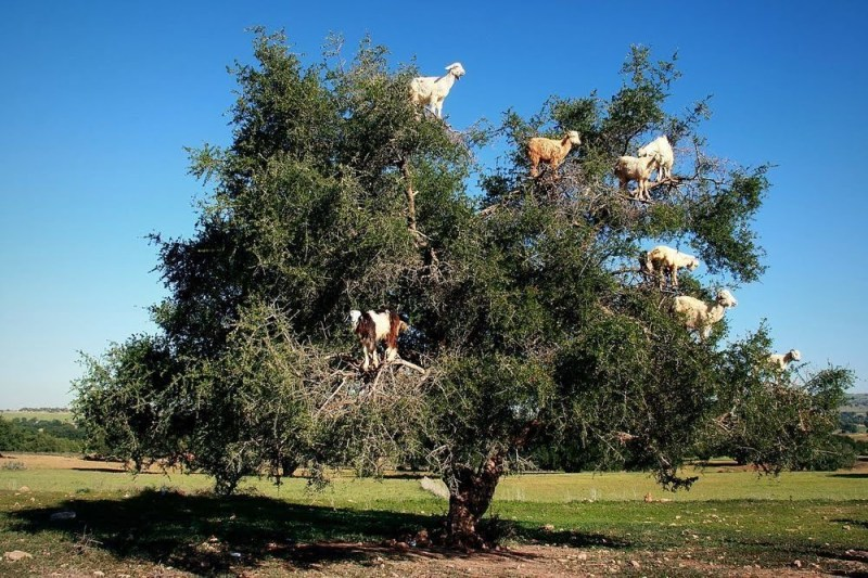 Tree - Livestock on Trees - Forestrypedia