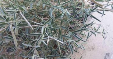 Argyrolobium stenophyllum