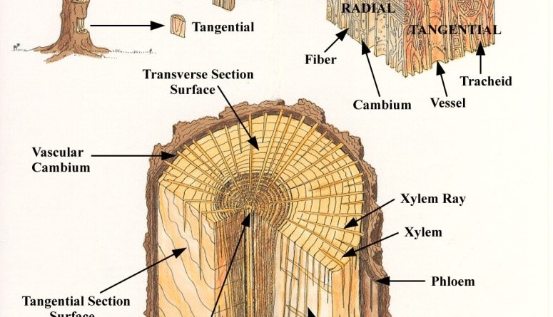 Softwoods, Hardwoods, Sapwood, Pits, Fiber, Parenchyma, Tyloses, Resin Canal, Grain, Texture, Figure Fiber - Forestrypedia