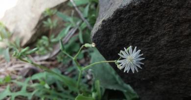 Lactuca dissecta - Wild Flora of Balochistan Pakistan