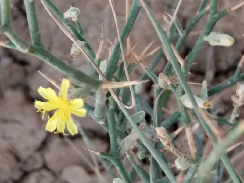 Launaea acanthodes ssp. tomentella
