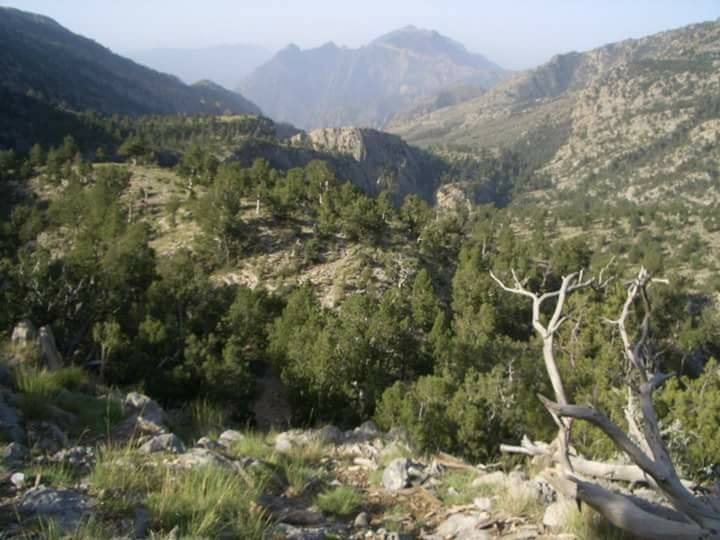 Pinus gerardiana. Chilghoza forest. Takhte Sulaiman Mountain. 3400 m. District Sherani (Zhob).