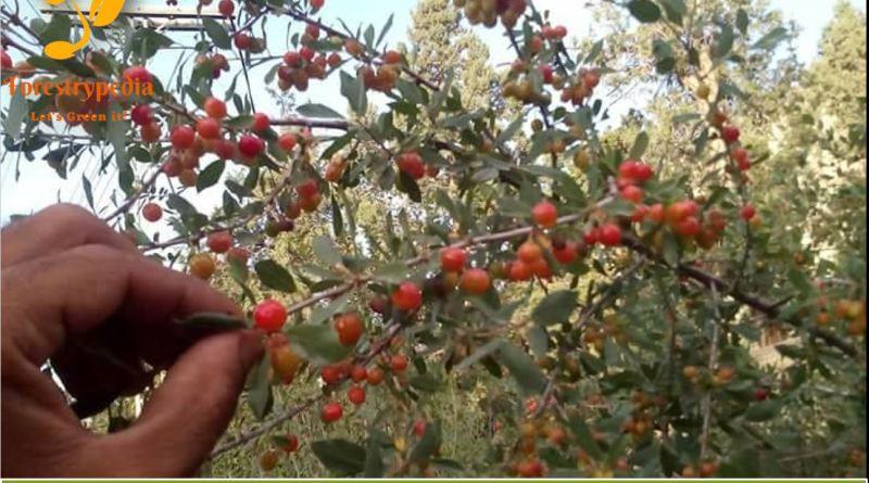 Prunus rechingeri syn. Cerasus rechingeri Thumb