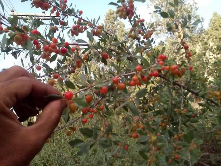 Prunus rechingeri syn. Cerasus rechingeri
