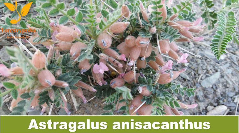 Astragalus anisacanthus