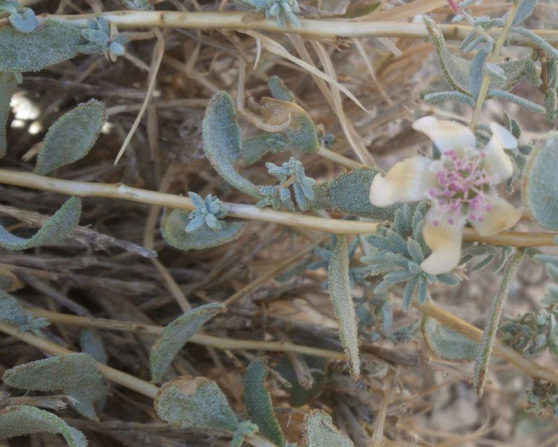 Reaumuria alternifolia ssp. alternifolia