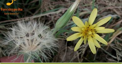 Tragopogon gracilis