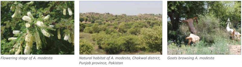 Acacia modesta (Phulai) - Importance, Usage, Establishment & Management