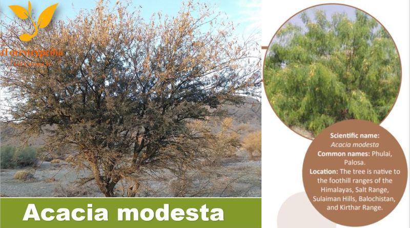 Acacia modesta (Phulai) - Importance, Usage, Establishment & Management - Forestrypedia