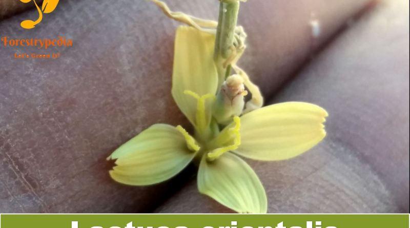 Lactuca orientalis