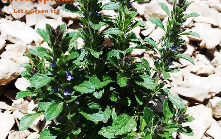 Lallemantia royleana