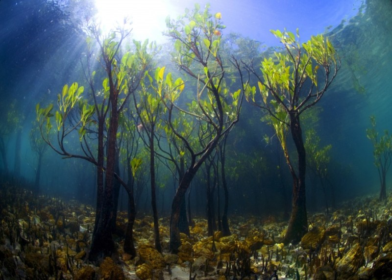A Young Mango Tree Underwater- 14 Most Beautiful Trees in the World