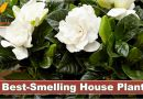 5 of The Best-Smelling House Plants - Forestrypedia